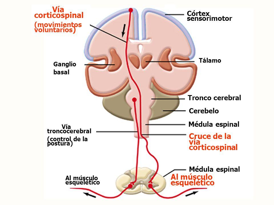 Cruce de la vía corticospinal