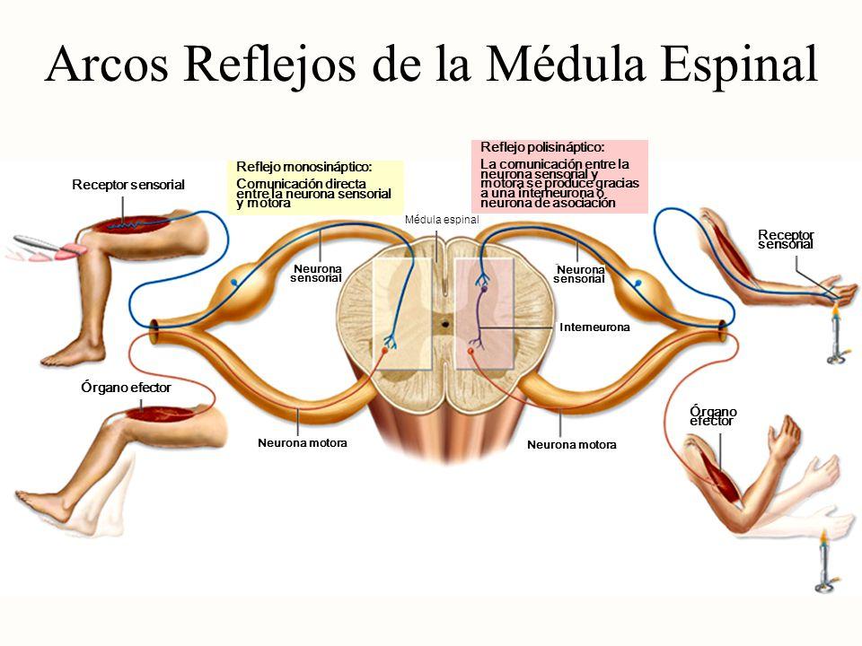 Arcos Reflejos de la Médula Espinal