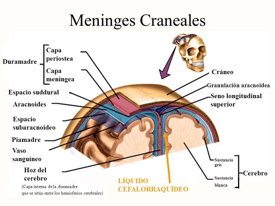 Meninges Craneales Capa periostea Duramadre Capa meningea Cráneo