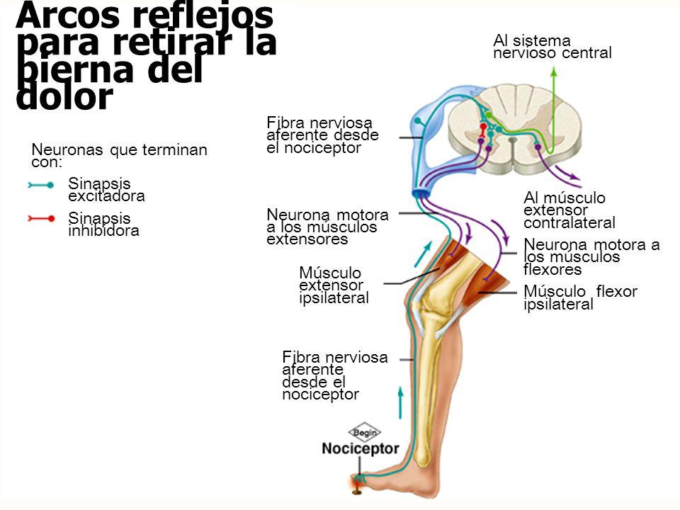 Arcos reflejos para retirar la pierna del dolor