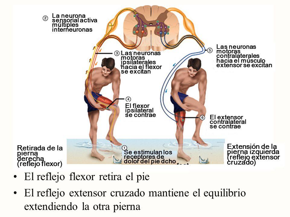 El reflejo flexor retira el pie