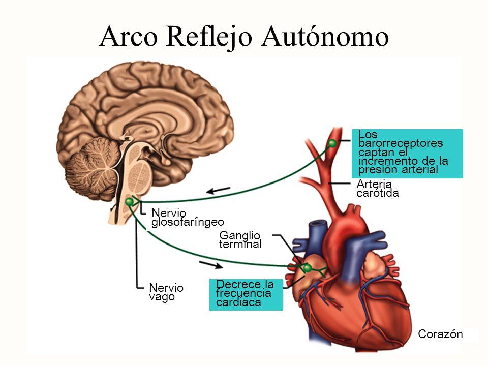 Arco Reflejo Autónomo Los barorreceptores captan el incremento de la presión arterial. Arteria carótida.