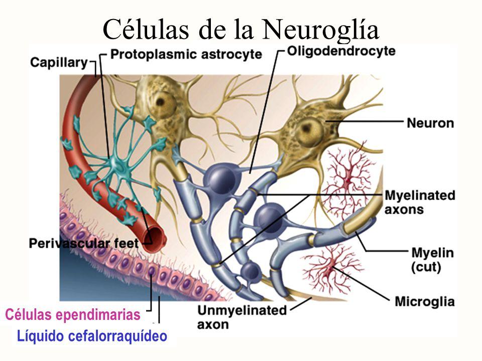 Células de la Neuroglía