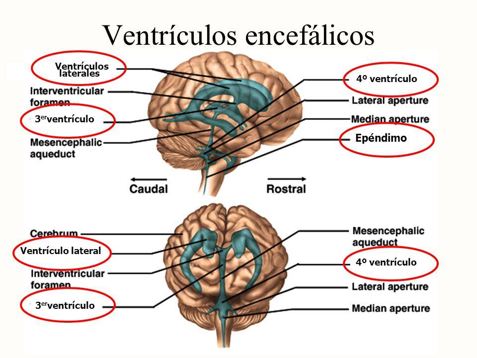 Ventrículos encefálicos