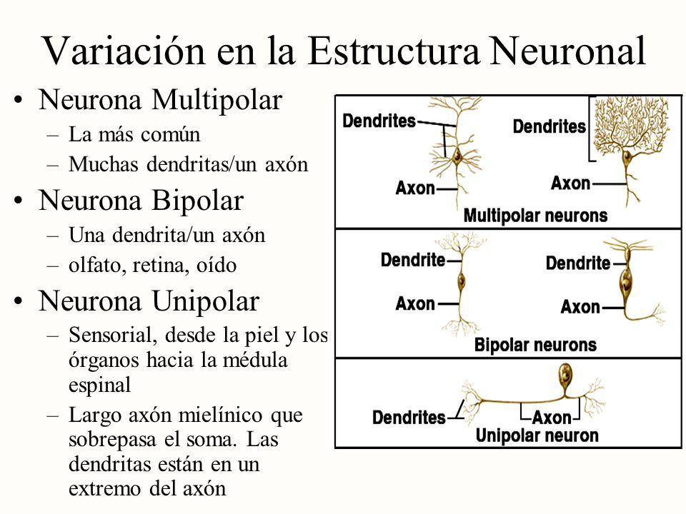 Variación en la Estructura Neuronal