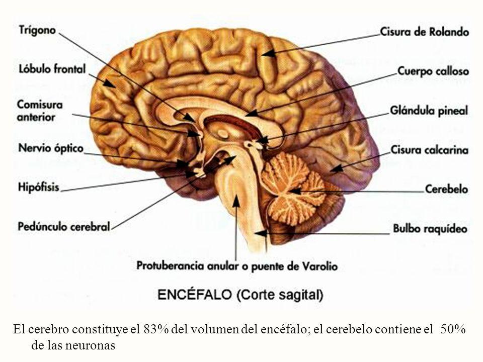 El cerebro constituye el 83% del volumen del encéfalo; el cerebelo contiene el 50% de las neuronas