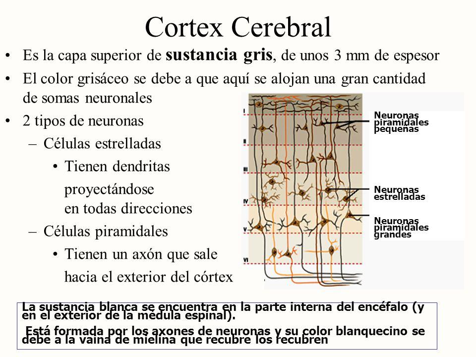 Cortex Cerebral Es la capa superior de sustancia gris, de unos 3 mm de espesor.