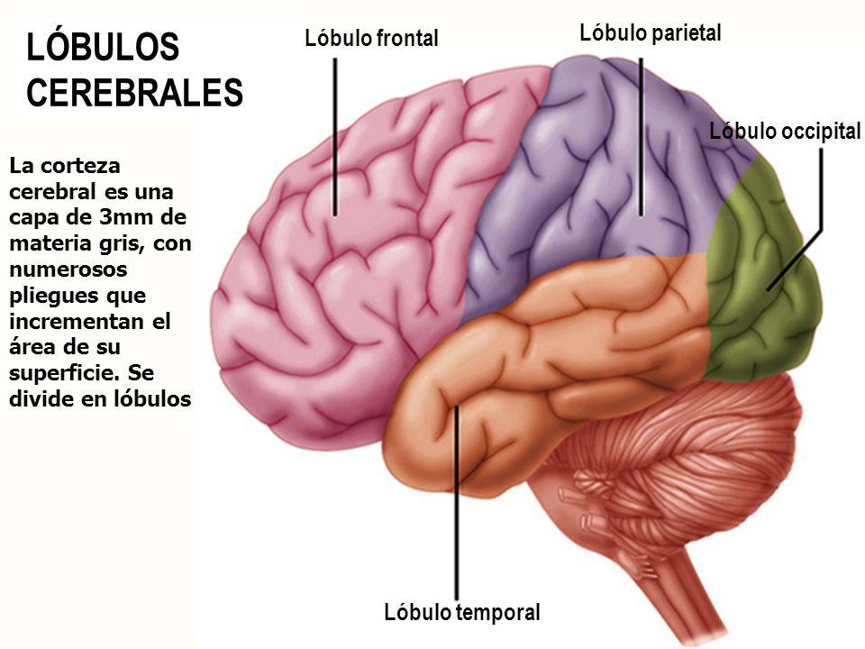 LÓBULOS CEREBRALES Lóbulo parietal Lóbulo frontal Lóbulo occipital