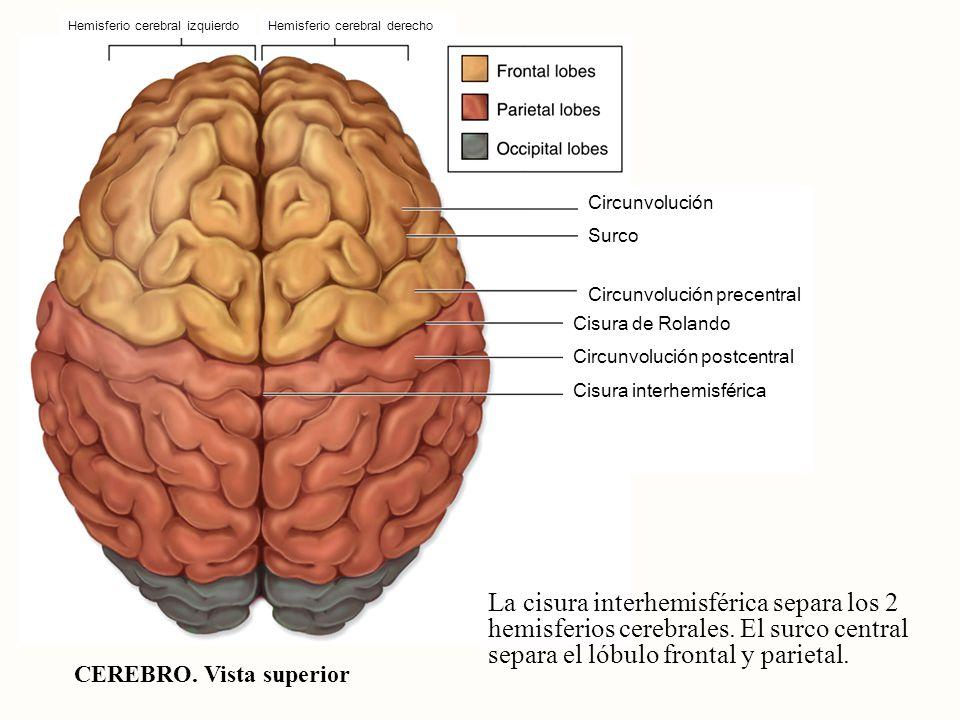 Hemisferio cerebral izquierdo