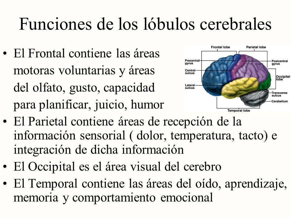 Funciones de los lóbulos cerebrales