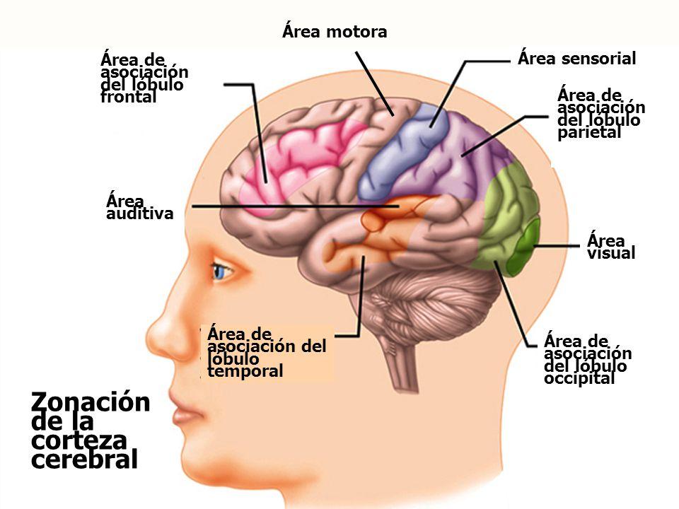 Zonación de la corteza cerebral