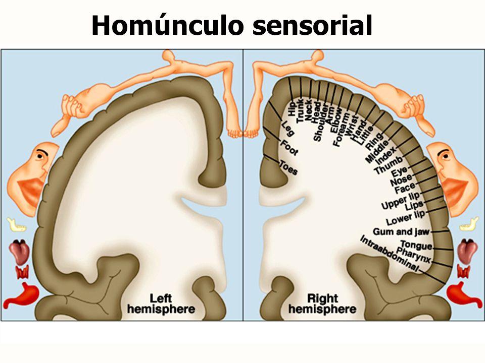 Homúnculo sensorial