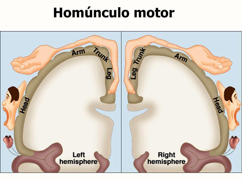Homúnculo motor