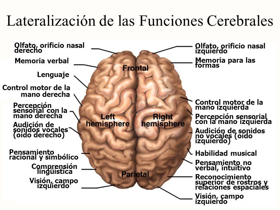 Lateralización de las Funciones Cerebrales