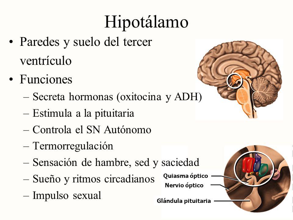 Hipotálamo Paredes y suelo del tercer ventrículo Funciones