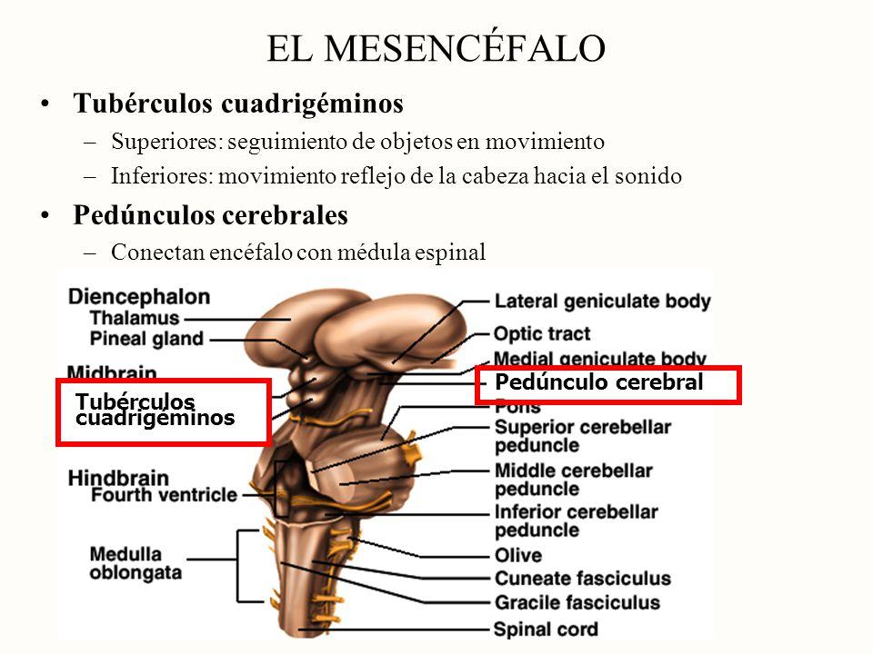 EL MESENCÉFALO Tubérculos cuadrigéminos Pedúnculos cerebrales