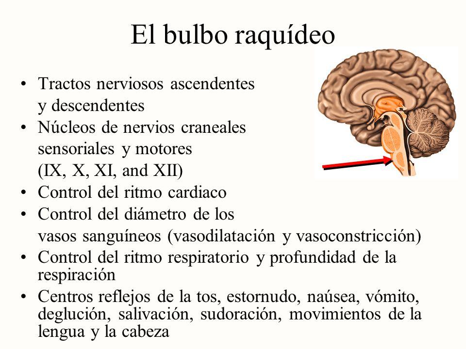 El bulbo raquídeo Tractos nerviosos ascendentes y descendentes