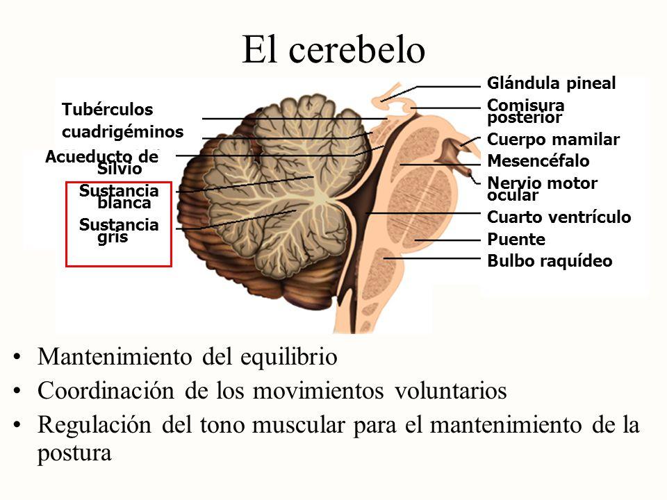 El cerebelo Mantenimiento del equilibrio