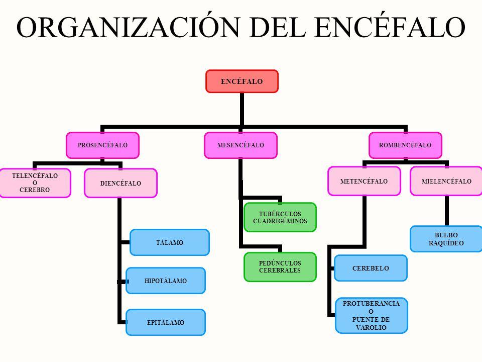 ORGANIZACIÓN DEL ENCÉFALO