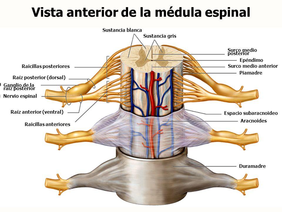 Vista anterior de la médula espinal
