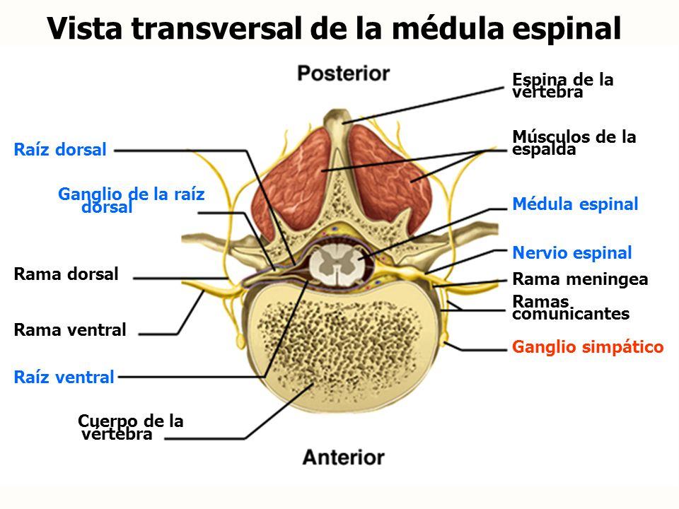 Vista transversal de la médula espinal