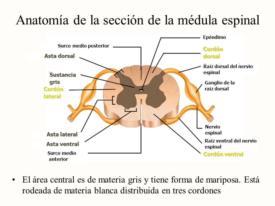 Anatomía de la sección de la médula espinal