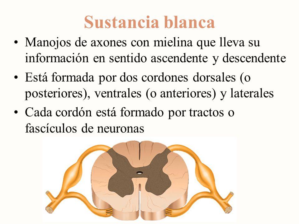 Sustancia blanca Manojos de axones con mielina que lleva su información en sentido ascendente y descendente.