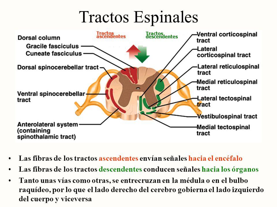 Tractos Espinales Tractos ascendentes. Tractos descendentes. Las fibras de los tractos ascendentes envían señales hacia el encéfalo.