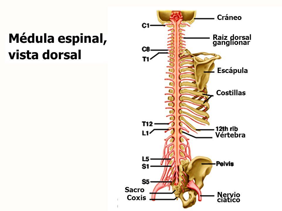 Médula espinal, vista dorsal Cráneo Raiz dorsal ganglionar Escápula