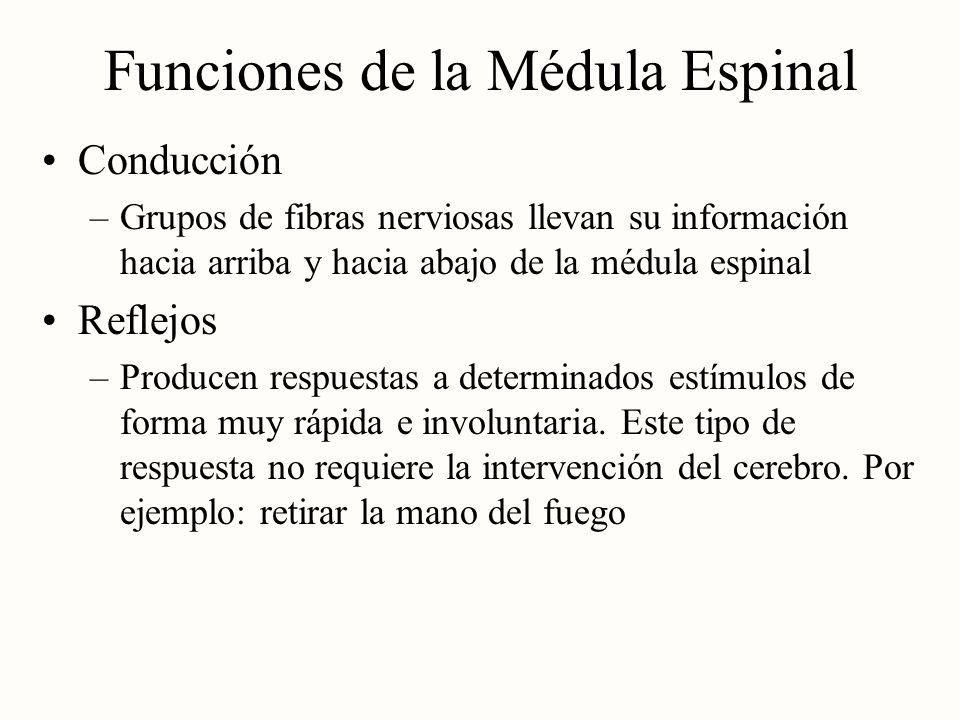 Funciones de la Médula Espinal