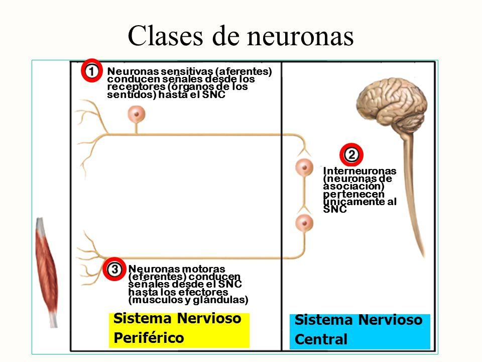 Clases de neuronas Sistema Nervioso Sistema Nervioso Periférico