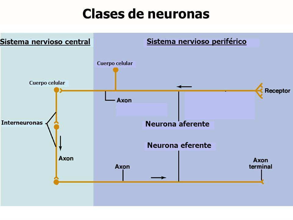 Clases de neuronas Sistema nervioso central