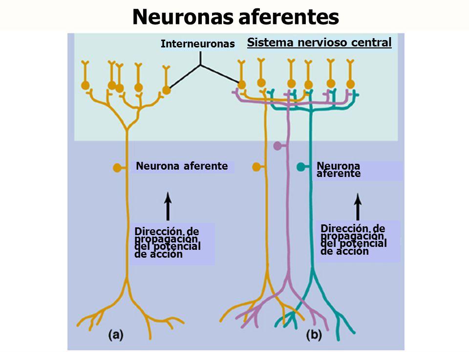 Neuronas aferentes Sistema nervioso central Interneuronas