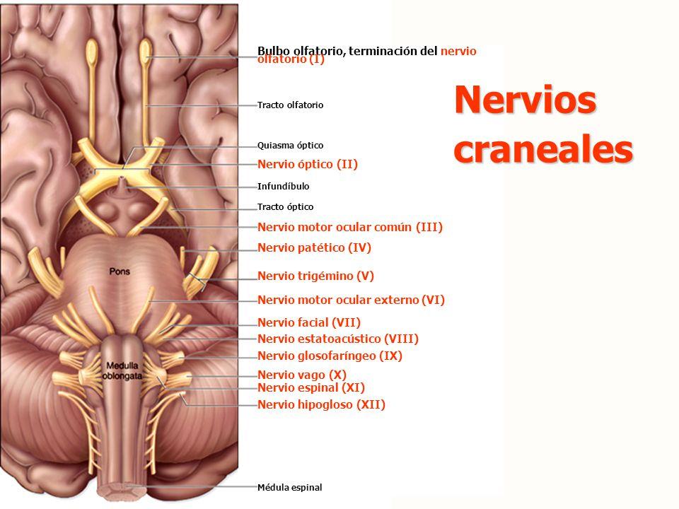 Bulbo olfatorio, terminación del nervio olfatorio (I)