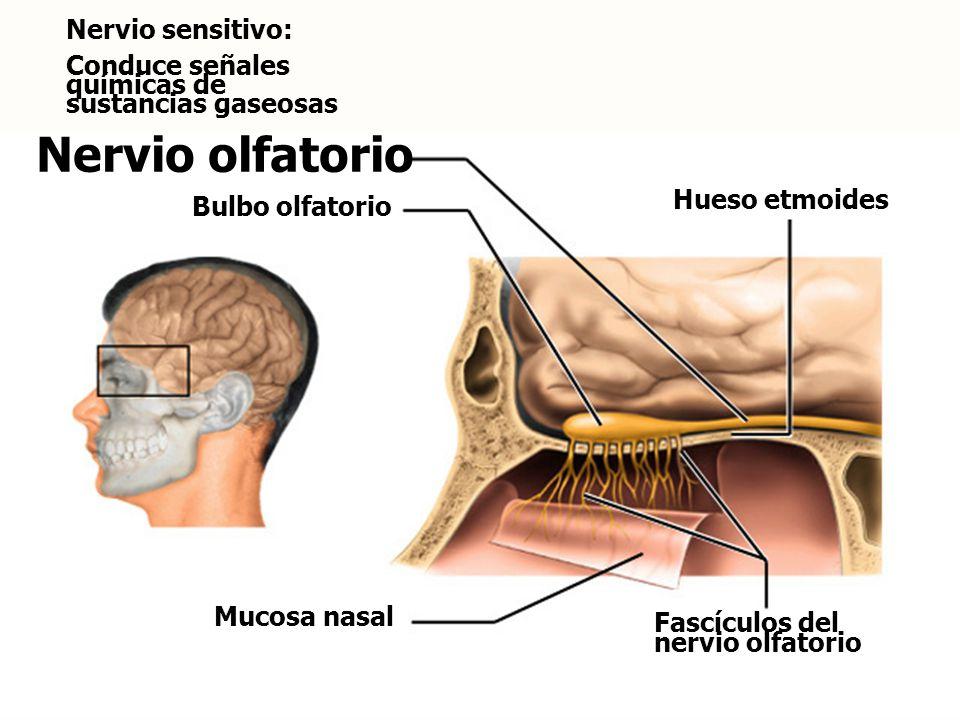 Nervio olfatorio Nervio sensitivo:
