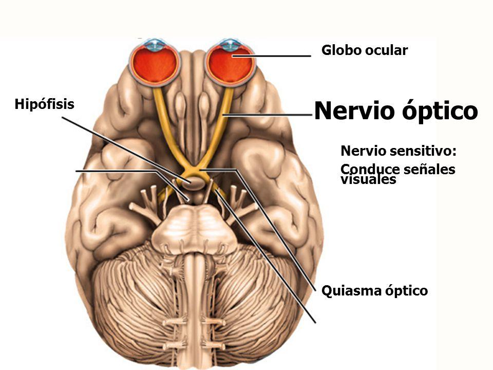 Nervio óptico Globo ocular Hipófisis Nervio sensitivo: