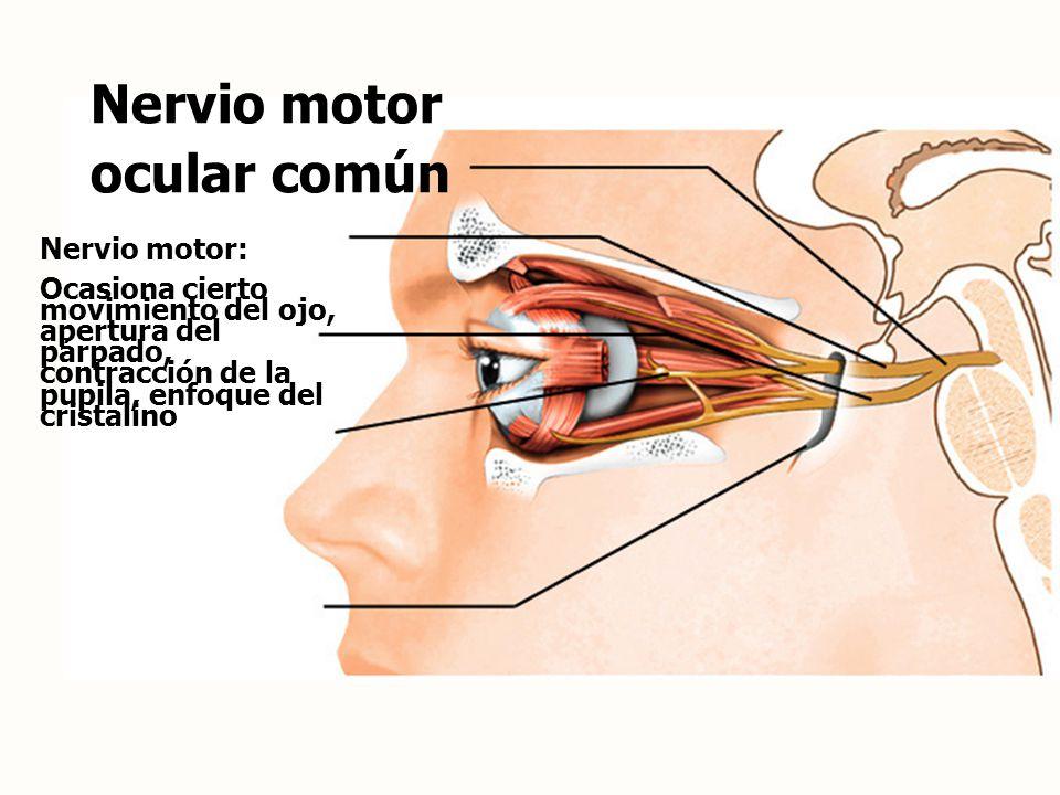 Nervio motor ocular común Nervio motor: