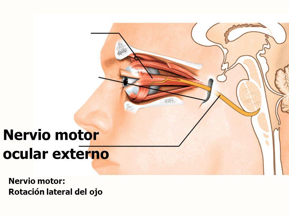 Nervio motor ocular externo Nervio motor: Rotación lateral del ojo