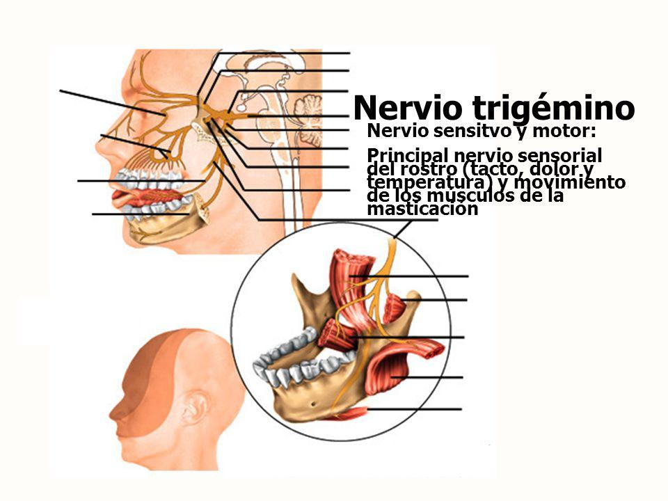Nervio trigémino Nervio sensitvo y motor: