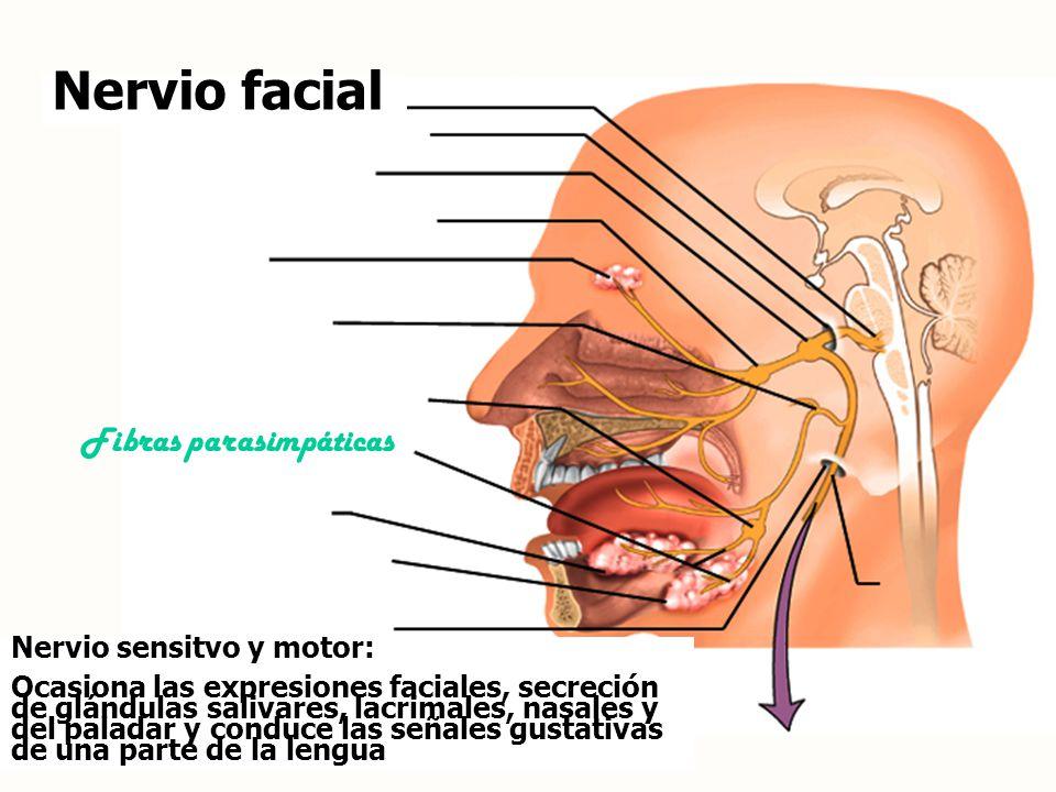 Nervio facial Fibras parasimpáticas Nervio sensitvo y motor: