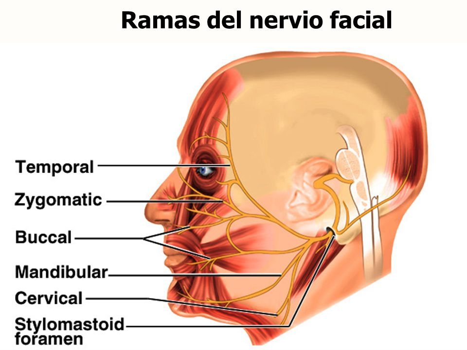Ramas del nervio facial