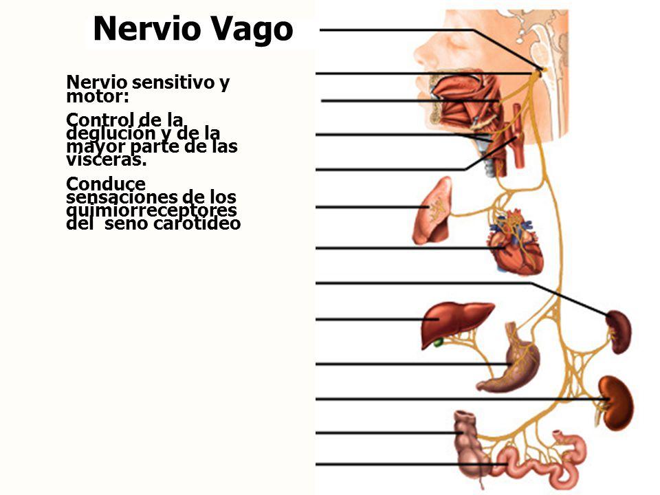 Nervio Vago Nervio sensitivo y motor: