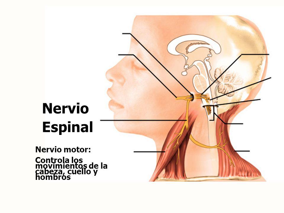 Nervio Espinal Nervio motor: