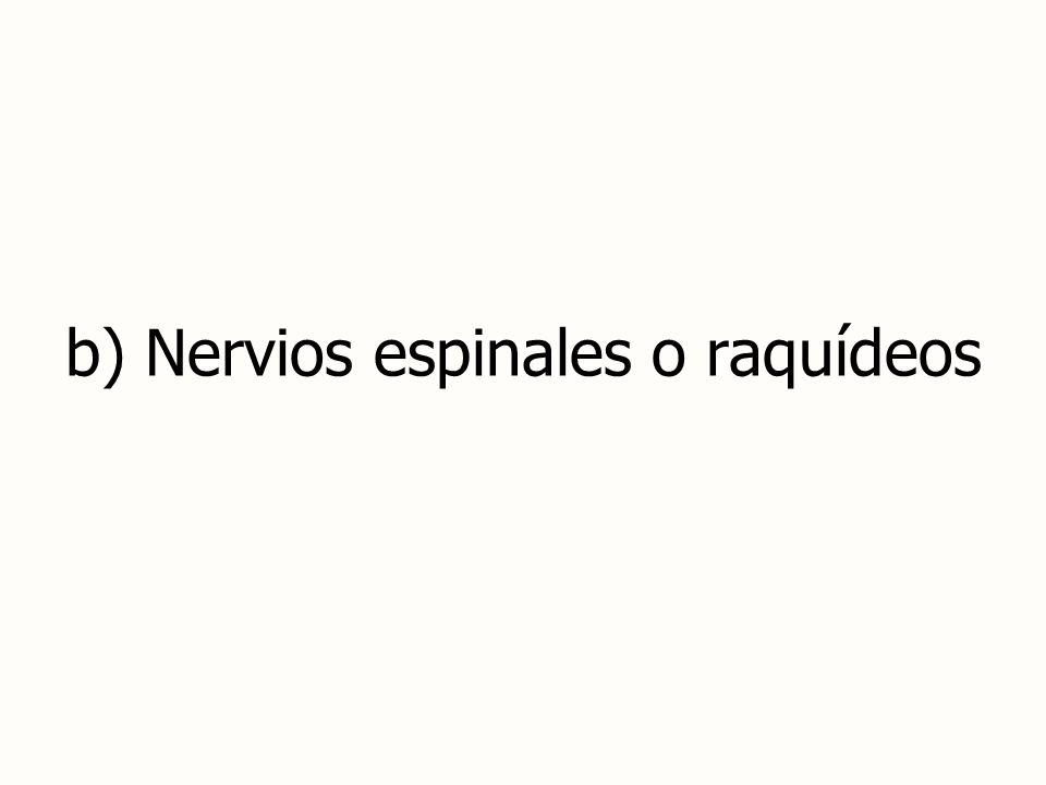 b) Nervios espinales o raquídeos