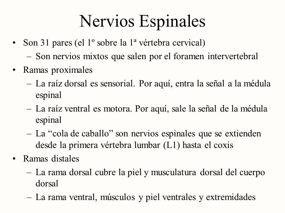 Nervios Espinales Son 31 pares (el 1º sobre la 1ª vértebra cervical)