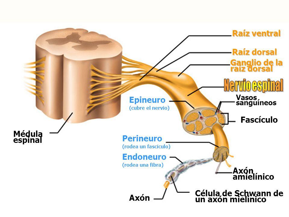 Nervio espinal Raíz ventral Raíz dorsal Ganglio de la raíz dorsal