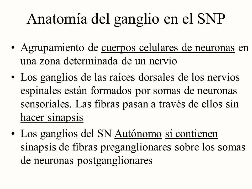 Anatomía del ganglio en el SNP