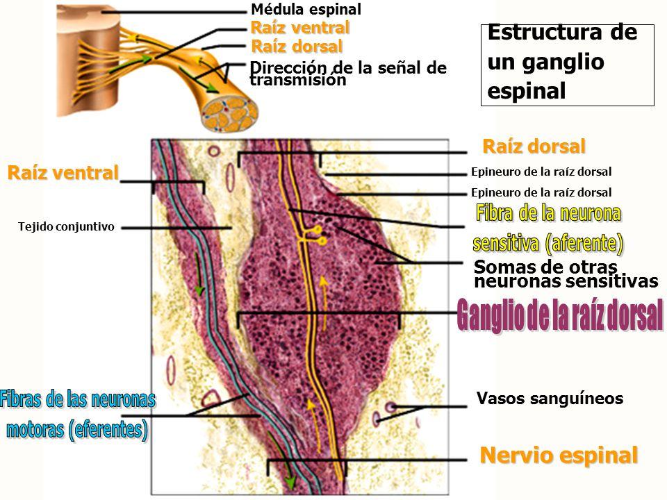 Ganglio de la raíz dorsal