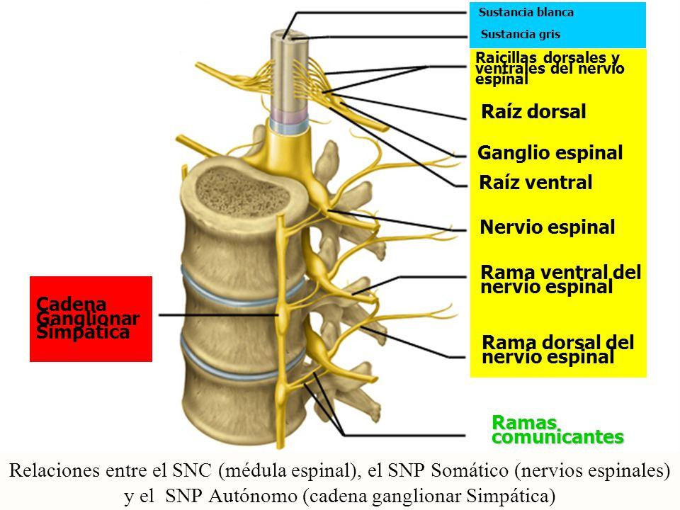 Sustancia blanca Sustancia gris. Raicillas dorsales y ventrales del nervio espinal. Raíz dorsal. Raíz dorsal.