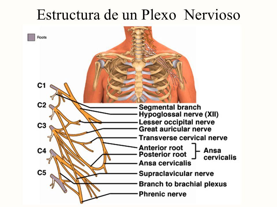 Estructura de un Plexo Nervioso